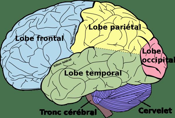 ataxie liée au gluten cervelet